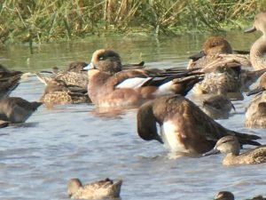 Wigeons seen during the 2017 CAS Big Sit