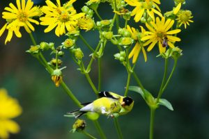 Goldfinch in cup plant - Sue Chaplin