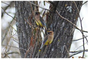 Cedar Waxwings at Forum Nature Area