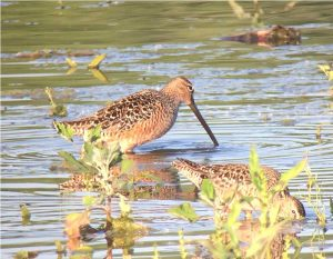 Long_billed_Dowitcher