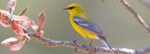 Blue-winged Warbler - used with permission from the Prairie Garden Trust