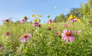Purple Coneflowers - used with permission from the Prairie Garden Trust