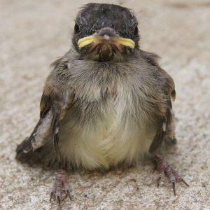 Eastern Phoebe fledgling