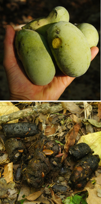 Pawpaw fruit and seeds