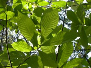 Pawpaw leaves