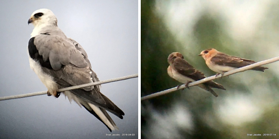 Photos of White-tailed Kite and Cave Swallow.