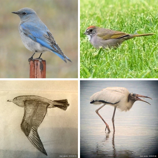 Photo of Mountain Bluebird, photo of Green-tailed Towhee, sketch of Pomarine Jaeger, and photo of Wood Stork.