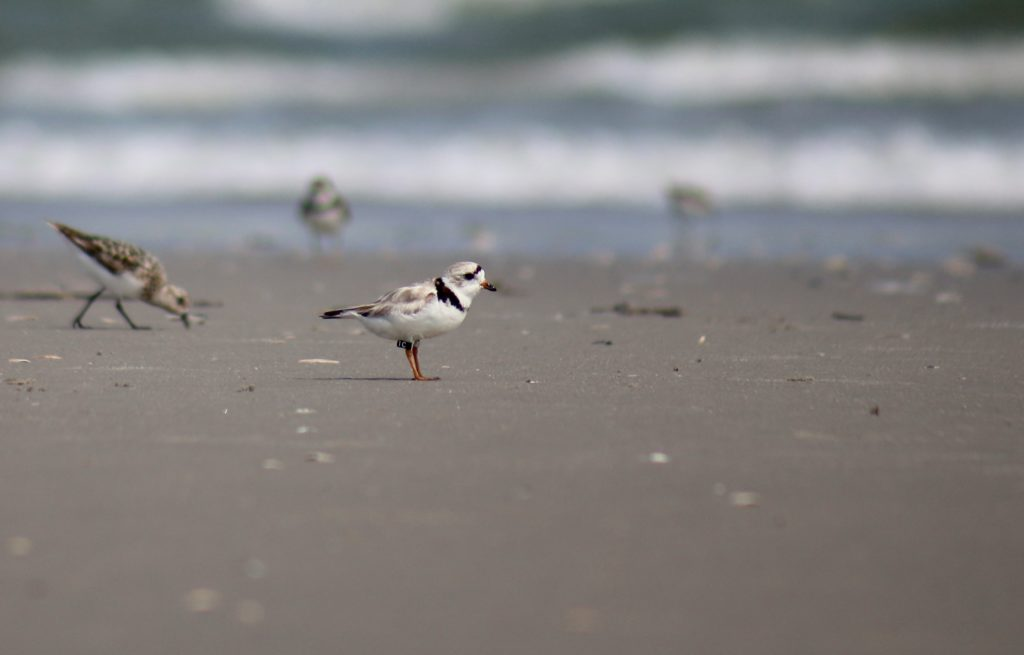 Piping Plover. Photo by Chelsea.