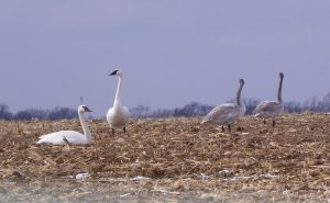 Overwintering Trumpeter Swans Increasing in Missouri